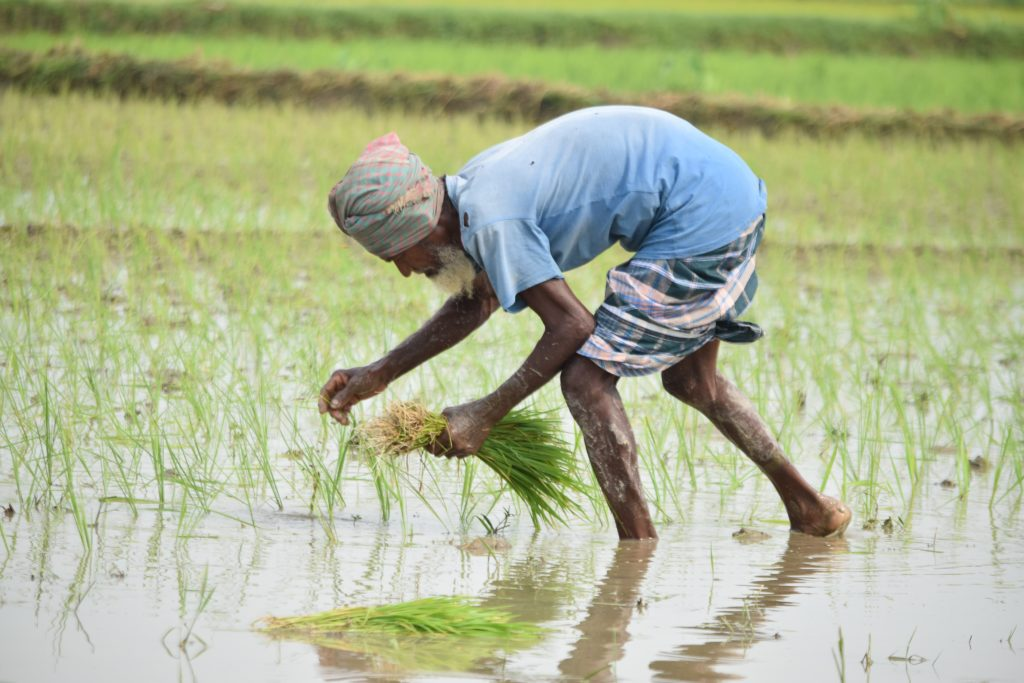 Indian laborer working in rice patty.